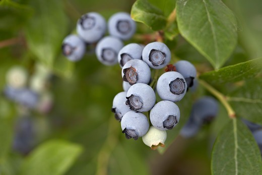 Blueberries, Barrie, Ontario, Canada : Stock Photo