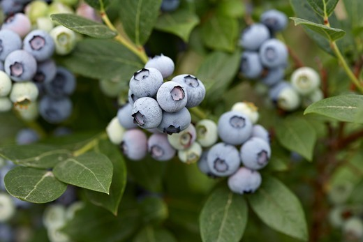 Stock Photo: 1828R-88739 Blueberries, Barrie, Ontario, Canada