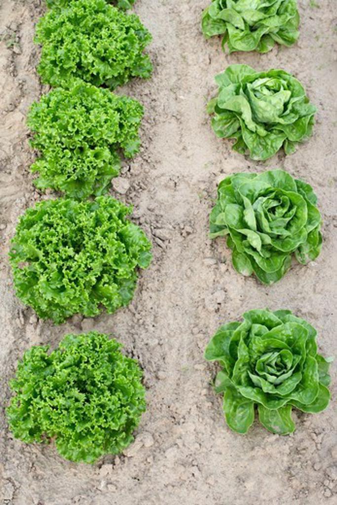 Boston and Leaf Lettuce, Fenwick, Ontario, Canada : Stock Photo