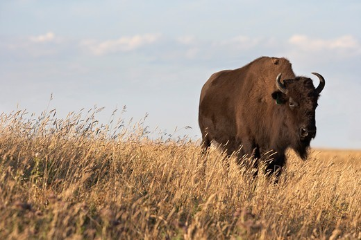 Stock Photo: 1828R-88819 Bison in Field, Tacarsey Bison Ranch, Pincher Creek, Alberta, Canada