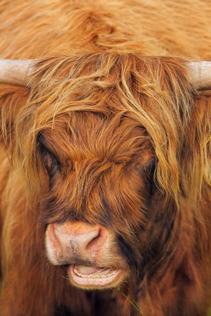 Highland Cattle, Glamaig, Isle of Skye, Inner Hebrides, Hebrides, Scotland : Stock Photo