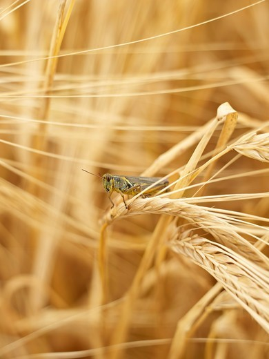 Stock Photo: 1828R-89087 Grasshopper on Wheat Stalk in Field, Alberta, Canada
