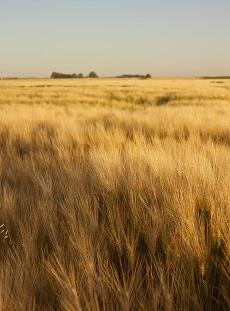 Field of Wheat, Alberta, Canada : Stock Photo