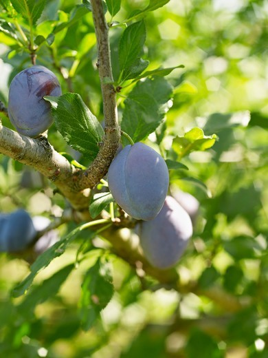 Stock Photo: 1828R-89174 Plums on Tree Branches, Hipple Farms, Beamsville, Ontario, Canada
