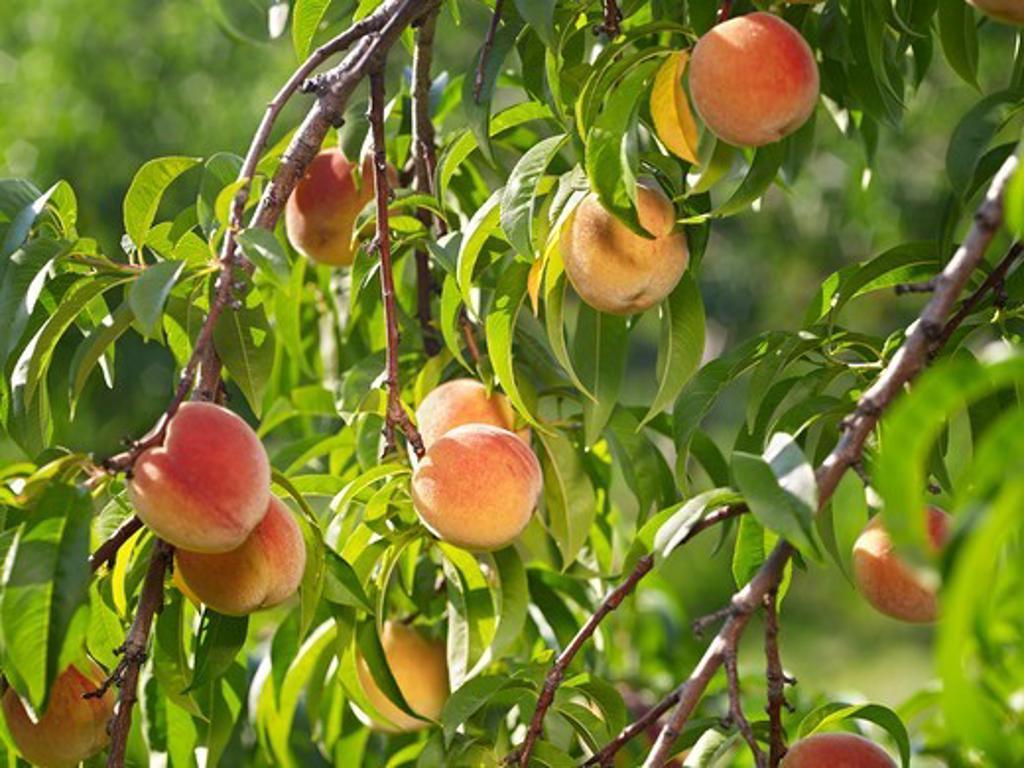 Peaches on Tree Branches, Hipple Farms, Beamsville, Ontario, Canada : Stock Photo