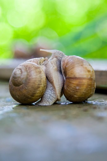 Stock Photo: 1828R-89407 Snails Mating, Freiburg, Baden-Wurttemberg, Germany