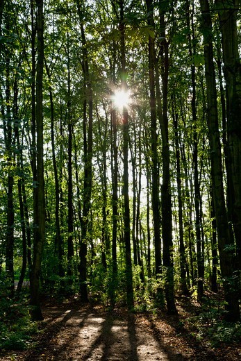 Stock Photo: 1828R-89540 Sun through Forest, Germany