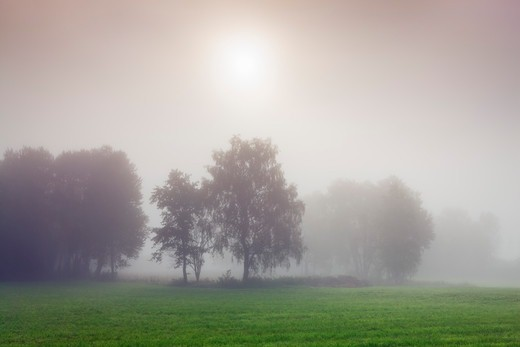 Birch Forest in Mist, Ammersee, Bavaria, Germany : Stock Photo