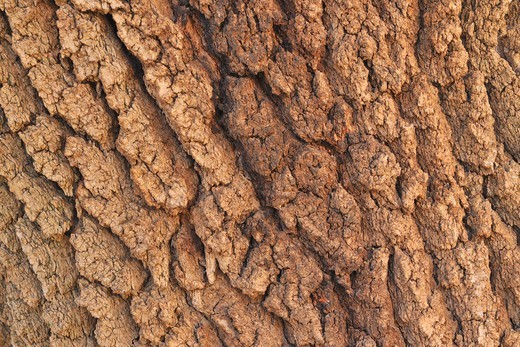 Bark of Old Tree, Ourika Valley, Atlas Mountains, Morocco : Stock Photo