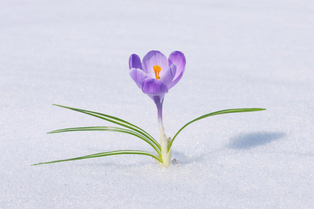 Spring Crocus in Snow, Franconia, Bavaria, Germany : Stock Photo
