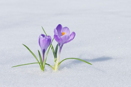 Stock Photo: 1828R-90218 Spring Crocuses in Snow, Franconia, Bavaria, Germany