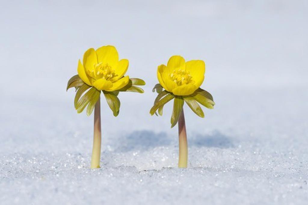Stock Photo: 1828R-90219 Eranthis Hyemalis in Snow, Franconia, Bavaria, Germany