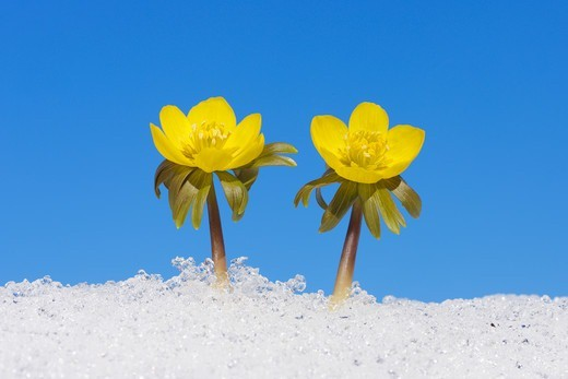 Stock Photo: 1828R-90220 Eranthis Hyemalis in Snow, Franconia, Bavaria, Germany