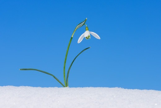 Galanthus Nivalis in Snow, Bavaria, Germany : Stock Photo