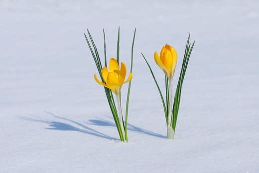 Stock Photo: 1828R-90223 Snow Crocuses in Snow, Franconia, Bavaria, Germany