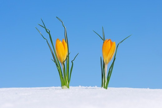 Crocus (Crocus chrysanthus / Snow Crocus) standing in snow, clear blue sky. Franconia, Bavaria, Germany. : Stock Photo
