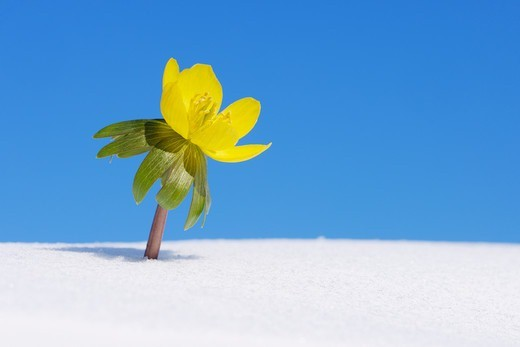 Stock Photo: 1828R-90225 Eranthis Hyemalis in Snow, Franconia, Bavaria, Germany