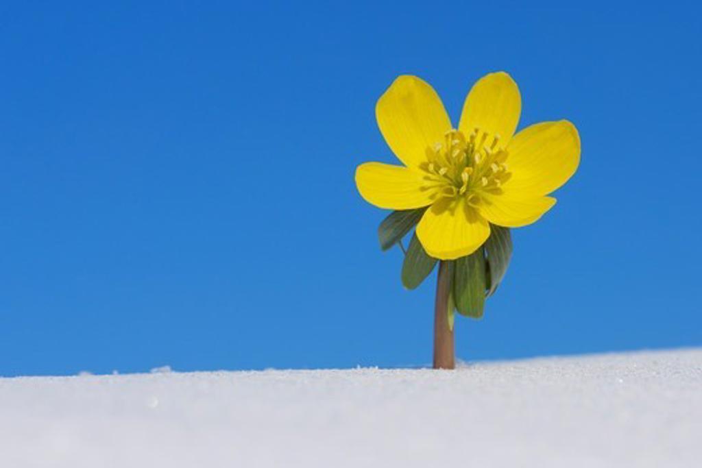 Eranthis Hyemalis in Snow, Franconia, Bavaria, Germany : Stock Photo