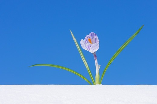 Stock Photo: 1828R-90230 Crocus Vernus in Snow, Franconia, Bavaria, Germany