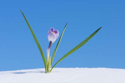 Stock Photo: 1828R-90232 Crocus Vernus in Snow, Franconia, Bavaria, Germany