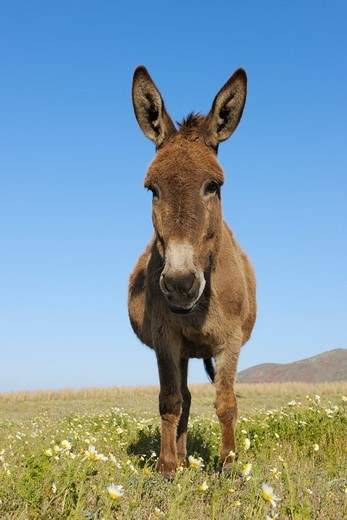 Donkey, Oia, Santorini Island, Cyclades Islands, Greek Islands, Greece : Stock Photo