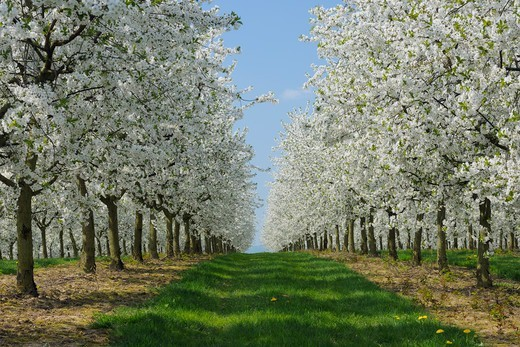 Stock Photo: 1828R-90737 Cherry Trees, Bavaria, Germany