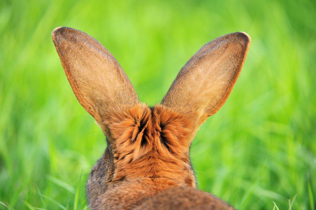 Stock Photo: 1828R-91507 Hare, Bavaria, Germany