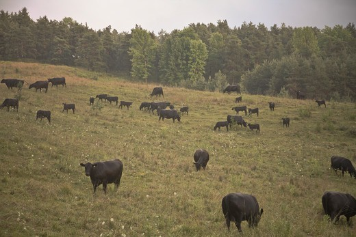 Stock Photo: 1828R-93025 Cattle in Field, Newmarket, Ontario, Canada