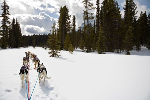 Stock Photo: 1828R-9441 Dogs Pulling Dogsled, Rocky Mountains, Alberta, Canada
