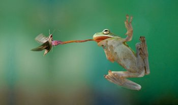 Frogs Catching Insects - Bing images
