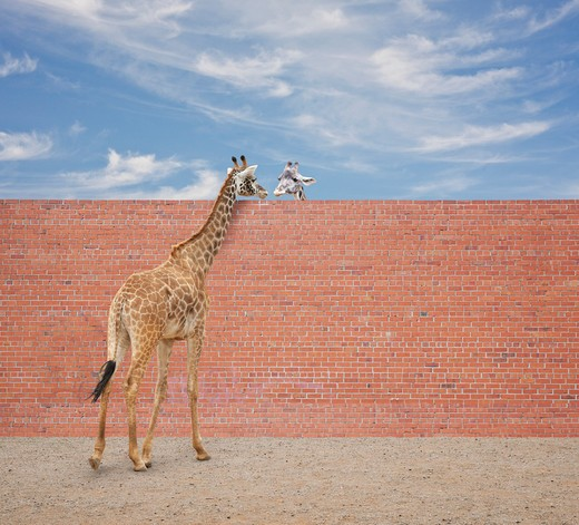 Two Giraffes (Giraffa camelopardalis) look at each other over a brick wall : Stock Photo