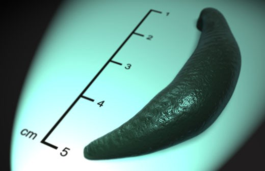 Leech : Stock Photo