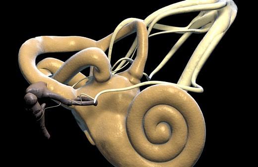 The inner ear : Stock Photo