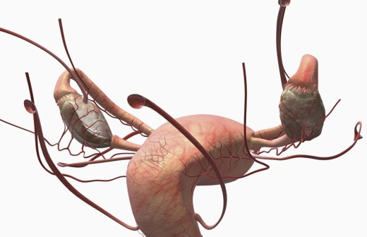 Stock Photo: 1832R-10952 The female reproductive system
