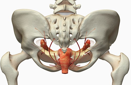 Stock Photo: 1832R-11511 The female reproductive system