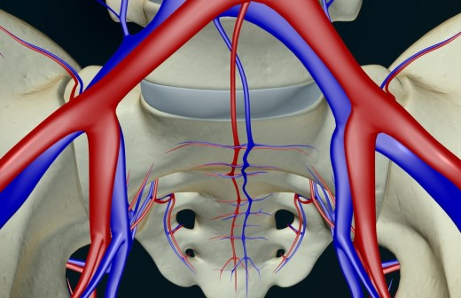The blood supply of the pelvis : Stock Photo