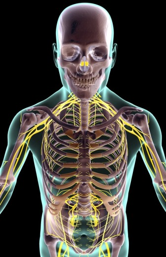 The nerves of the upper body : Stock Photo