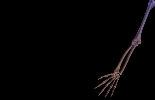Stock Photo: 1832R-2342 The bones of the upper limb