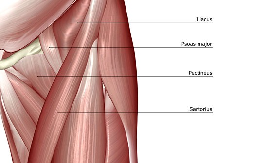The muscles of the hip : Stock Photo