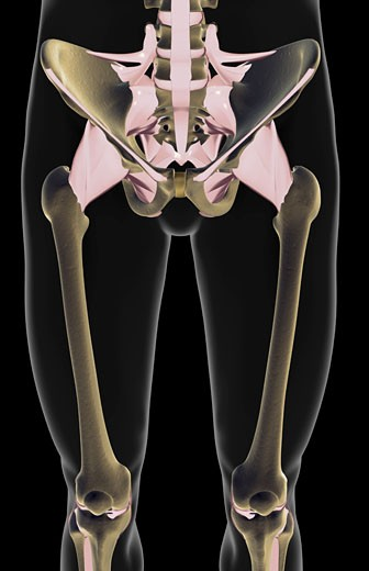 The ligaments of the lower limb : Stock Photo