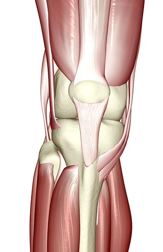 The muscles of the knee : Stock Photo