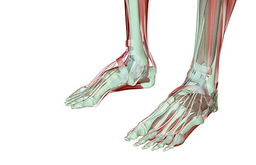 Stock Photo: 1832R-2457 The musculoskeleton of the feet