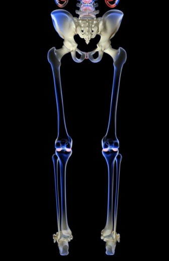 Stock Photo: 1832R-2610 The bones of the lower body
