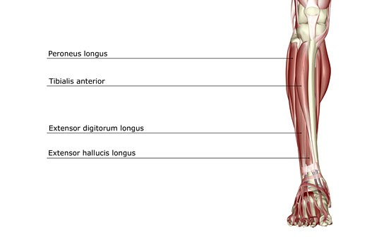 The muscles of the leg : Stock Photo