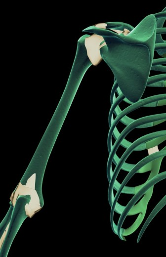 Stock Photo: 1832R-2831 The ligaments of the shoulder