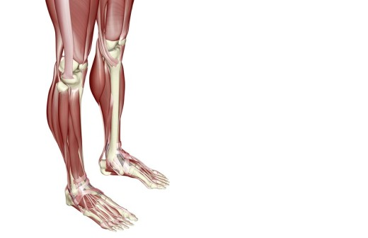 The muscles of the legs : Stock Photo