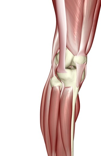 Stock Photo: 1832R-3045 The muscles of the knee