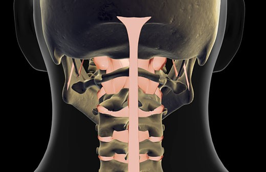 The ligaments of the neck : Stock Photo