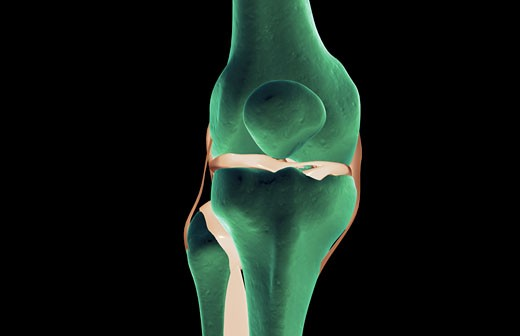 Stock Photo: 1832R-3228 The ligaments of the knee