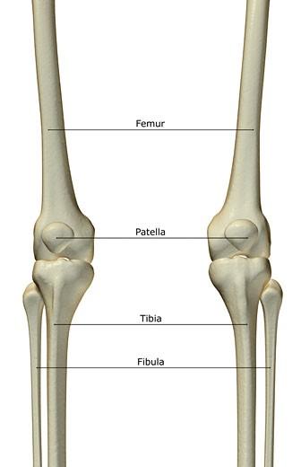 The bones of the knee : Stock Photo